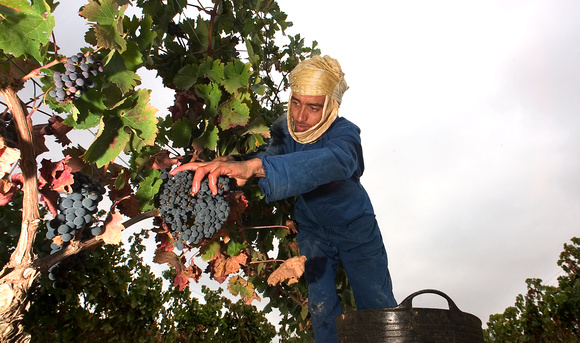 A picker cuts a bunch of grape