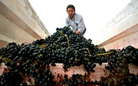 A worker empties black grapes
